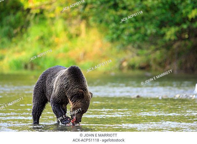 Grizzly bear Ursus arctos horribilis feeding on salmon on the British Columbia Coast in Canada