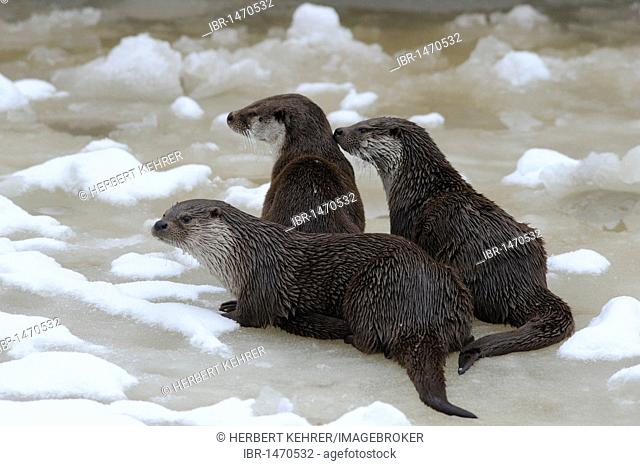 European Otters (Lutra lutra)