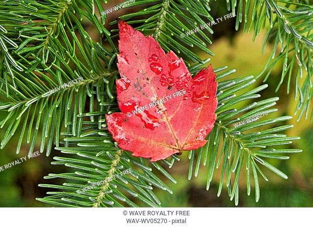 Autumn red maple leaf on balsam fir branch  Algonquin Provincial Park, Ontario  Canada