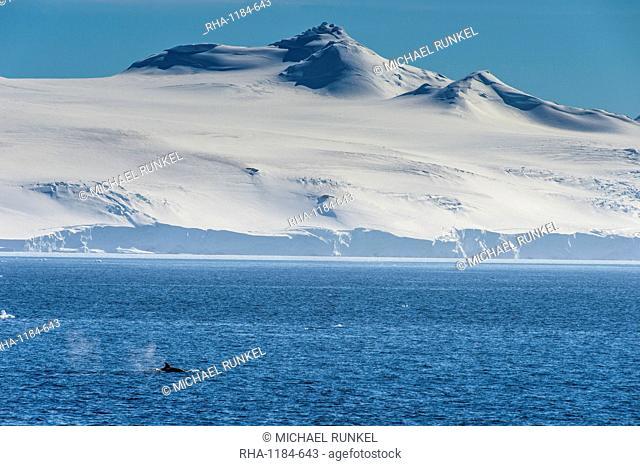 Killer whale (orca) (Orcinus orca), Weddell, Sea, Antarctica, Polar Regions