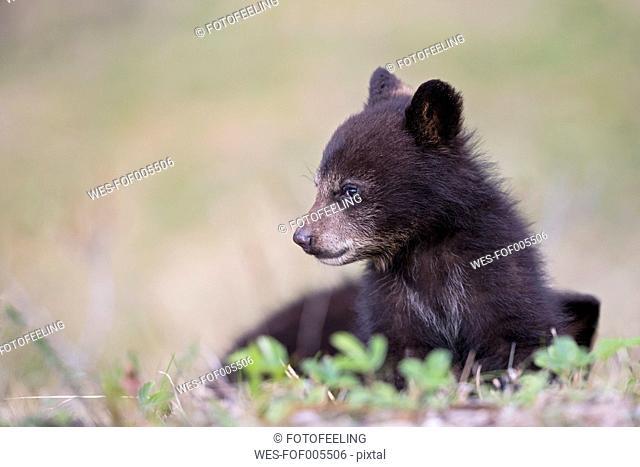 Canada, Rocky Mountains, Alberta. Jasper National Park, American black bear (Ursus americanus), bear cub on meadow