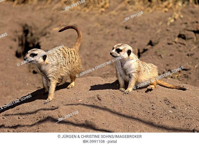 Meerkats (Suricata suricatta), alert pair, Little Karoo, Western Cape, South Africa