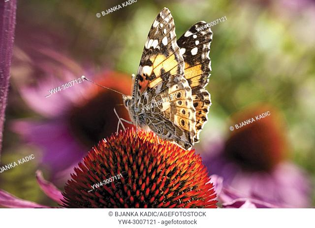Painted lady butterfly feeding on Echinacea purpurea RUBY GIANT