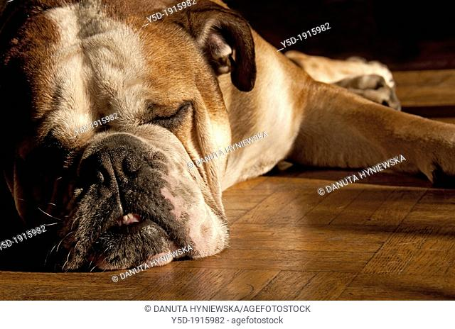 sleeping English bulldog, snout close-up