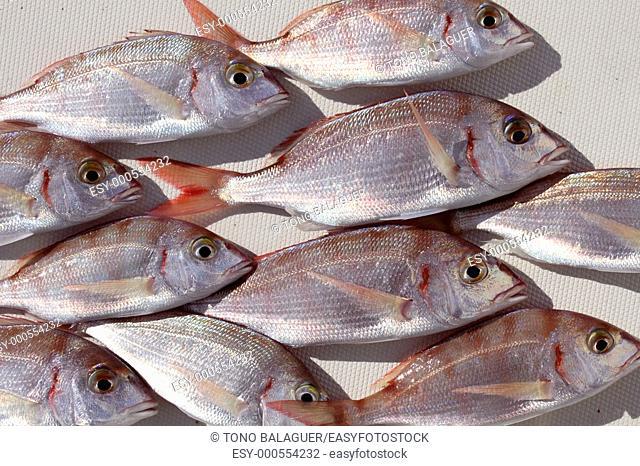 common pandora fish pagellus erythrinus mediterranean catch