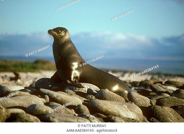 Galapagos Sea Lion (Zalophus californianus wollebacki) Galapagos Is