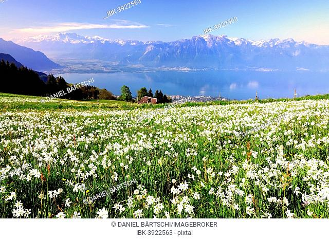 Meadow with white daffodils at Lake Geneva, Mt Dents du Midi at the back, Montreux, Canton of Vaud, Switzerland