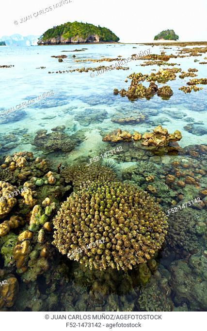 Coral  Chicken Island  Krabi coast  Krabi province, Andaman Sea, Thailand, Asia