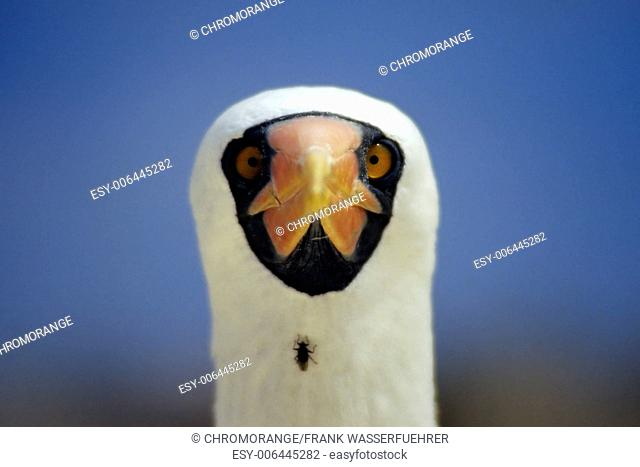 Masked Boobie with Fly on Neck
