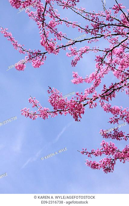 flowering redbud branches against almost-cloudless blue sky