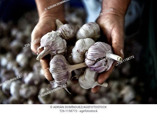 bundle of garlic. Extremadura, Spain
