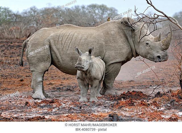White Rhinoceros (Ceratotherium simum) with calf, uMkhuze Game Reserve, iSimangaliso Wetland Park, Mkuze, South Africa