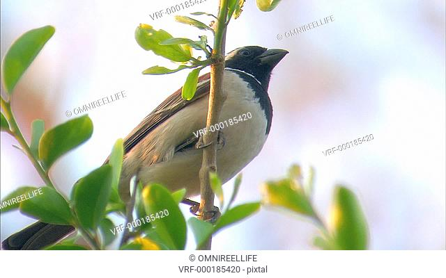 Cape Sparrow perching on branch and flying off