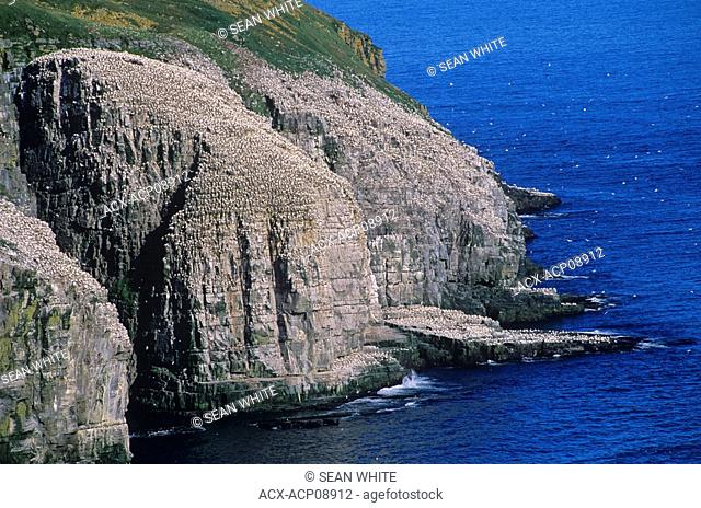 Northern Gannet colony on Bird Rock, Cape St  Mary's Ecological Reserve, Newfoundland, Canada