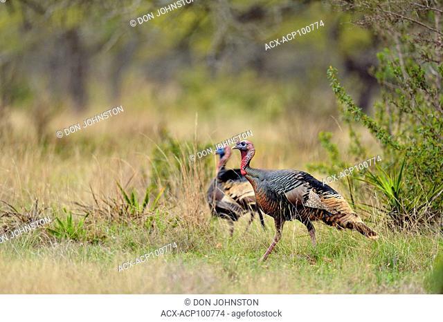 Wild turkey (Meleagris gallopavo), Johnson City (Cypress Mill Road), Texas, USA