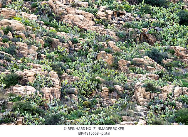 Rocky landscape with prickly pear cactus (Opuntia ficus-indica) and spurges (Euphorbia), Sardinia, Italy