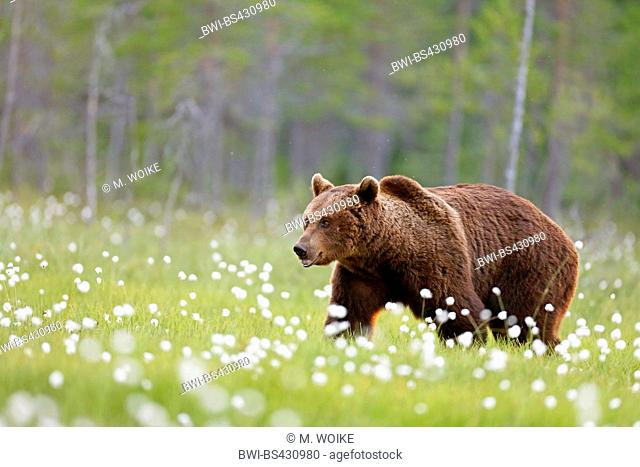 European brown bear (Ursus arctos arctos), walking through blooming cotton-grass, side view, Finland, Kainuu