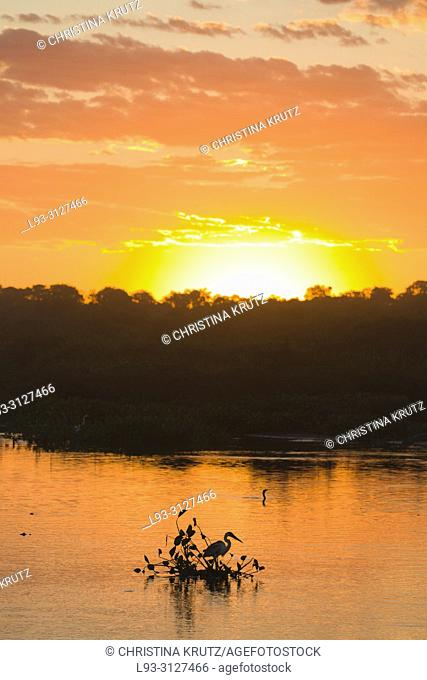 Cocoi Heron (Ardea cocoi) hunting in water at sunset, Pantanal, Mato Grosso, Brazil