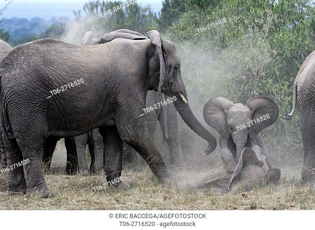 Young African elephant calves playing amongst herd (Loxodonta africana) Queen Elizabeth National Park, Uganda, Africa