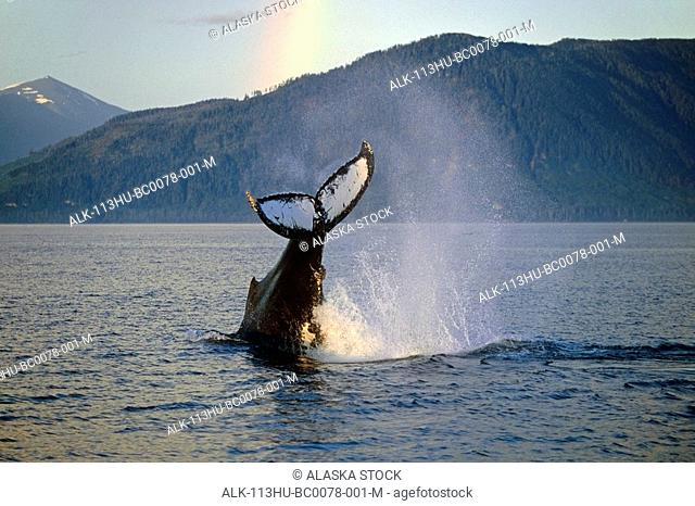 Humpback Whale Tail Sunset Frederick Sound Southeast Alaska Summer