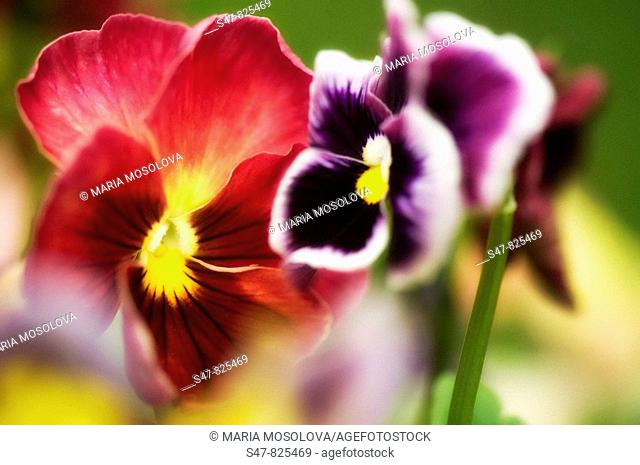 Red and Purple Pansy Flowers. Viola x wittrockiana