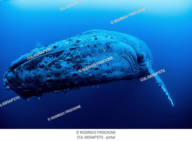 A female humpback resting in the depths around Roca Partida Island, Mexico