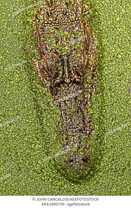 American alligator (Alligator mississippiensis), Louisiana, USA