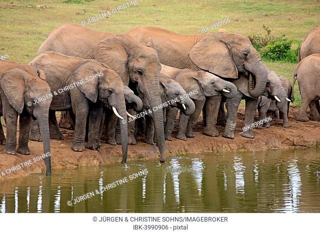 African Elephants (Loxodonta africana), herd at waterhole, Addo Elephant National Park, Eastern Cape, South Africa