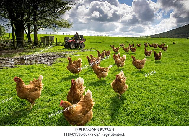Domestic Chicken, freerange hens, flock in pasture, being fed by farmer on quadbike, Chipping, Lancashire, England, May