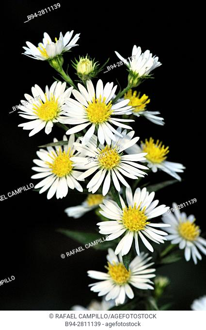 Flowers of Bellis sylvestris or the Southern Daisy. Fam. Asteraceae. Perennial plant native to central and northern Europe