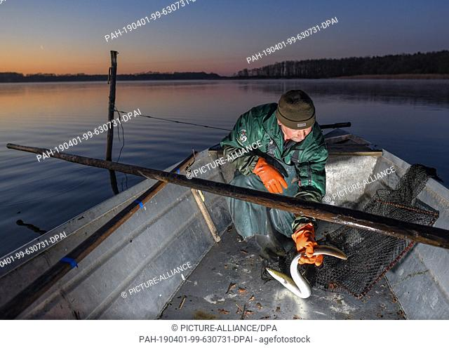 01 April 2019, Brandenburg, Groß Schauen: Laszlo Acz, fisherman of the fishery Köllnitz, fetches in the early morning at sunrise a fish trap with an eel from...