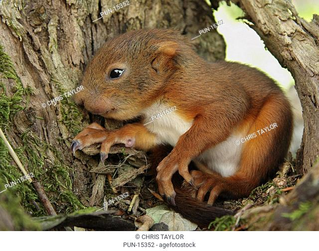 A baby red squirrel Sciurus vulgaris in a nest in a tree, Limousin, France