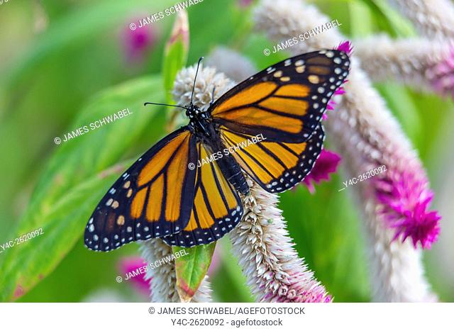 Monarch Butterfly Danaus plexippus on a flower at The Butterfly Estaes in Fort Myers Florida