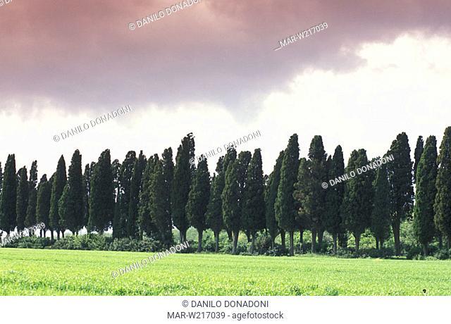 carducci cypresses, bolgheri, italy