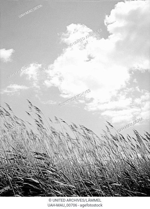 Strandhafer wiegt sich im Wind auf der Frischen Nehrung in Ostpreußen, 1930er Jahre. Beachgrass swaying in the wind at the Frische Nehrung bay bar, East Prussia