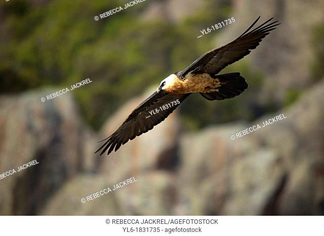 an adult lammergeier flying