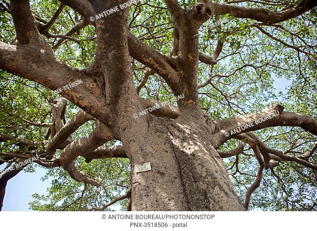 Ethiopia, Majestic fig tree vasta by the lake Awassa