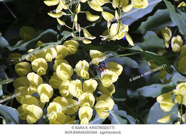 A bee gathering honey from a flower