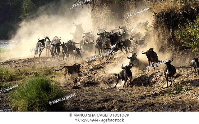 The confused wildebeest start runng back to escape the lioness. Masai Mara National Reserve, Kenya