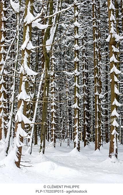 Norway spruce trees (Picea abies) in coniferous forest showing trunks and branches covered in snow in winter