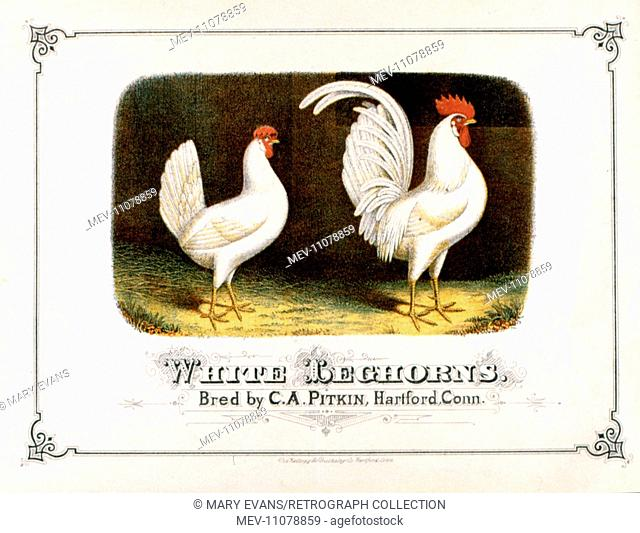 Cockerel and Hen -- White Leghorns, bred by C A Pitkin, Hartford, Connecticut, USA
