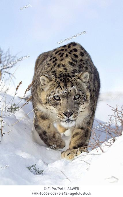 Snow Leopard Panthera uncia adult, walking in snow, winter captive