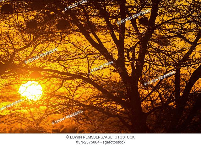 The sun setting behind the acacia trees in the Namib desert, located in Namibia, Africa