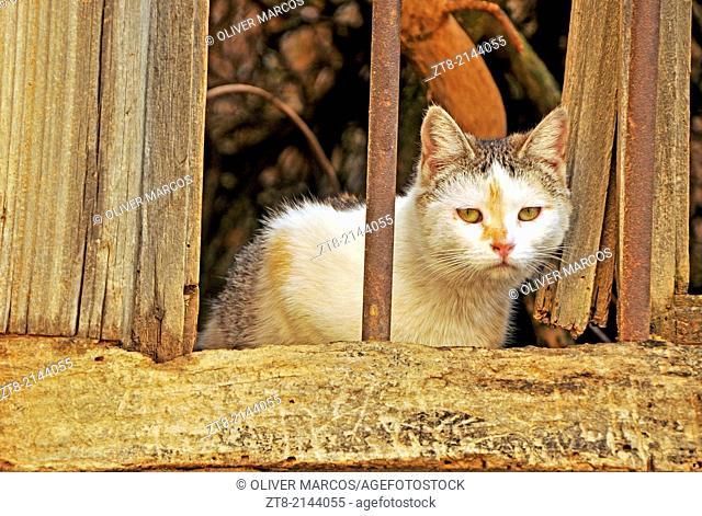 Cat in abandoned village, Leon province, Castilla-Leon, Spain