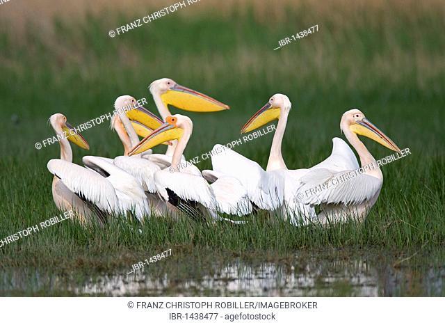 Great White Pelicans (Pelecanus onocrotalus), Danube Delta, Romania, Europe