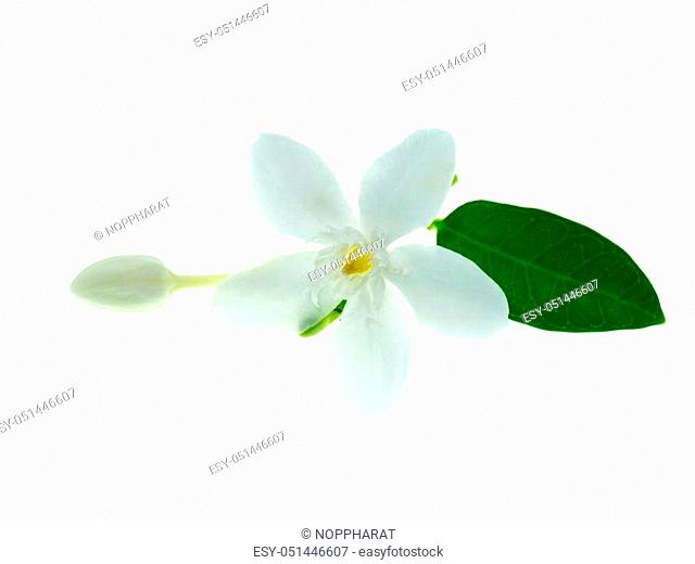 Close up of Coral swirl flower on white background (Wrightia antidysenterica)