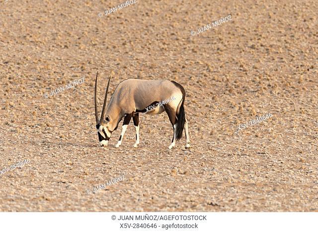 Cape oryx (Oryx Gazella). Namib Naukluft Park. Namibia. Africa