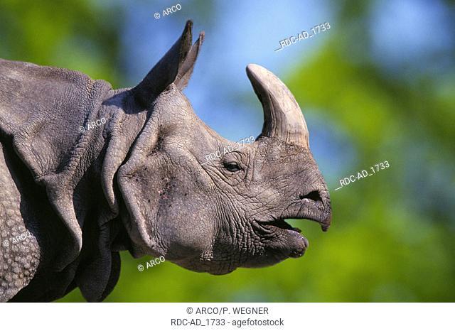 Indian Rhinoceros Rhinoceros unicornis side profile
