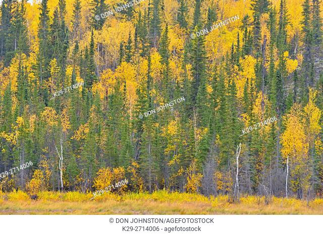 Autumn aspens with black spruce on a hillside overlooking a wetland, Yellowknife, Northwest Territories, Canada