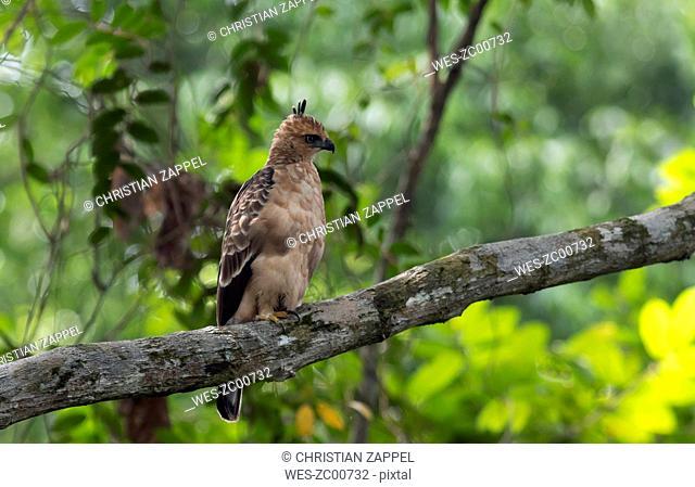 Malaysia, Borneo, Sepilok, Sabah, Wallace's hawk-eagle, Nisaetus nanus, juvenil